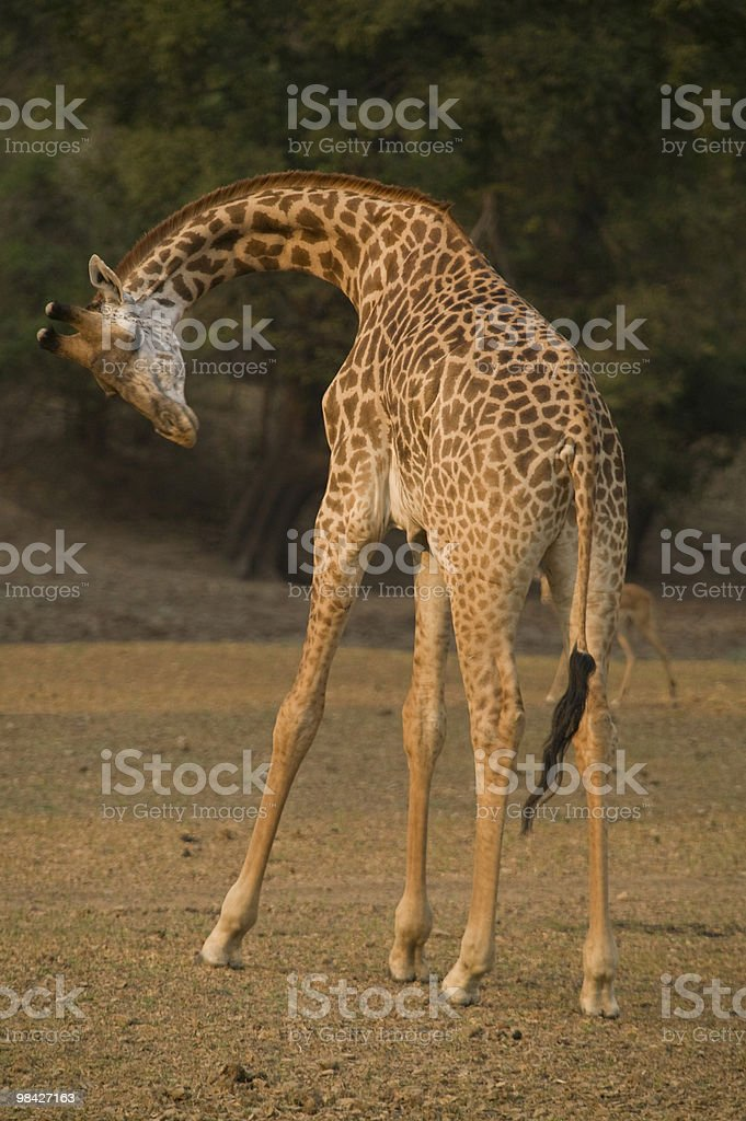 Giraffe Bending royalty-free stock photo