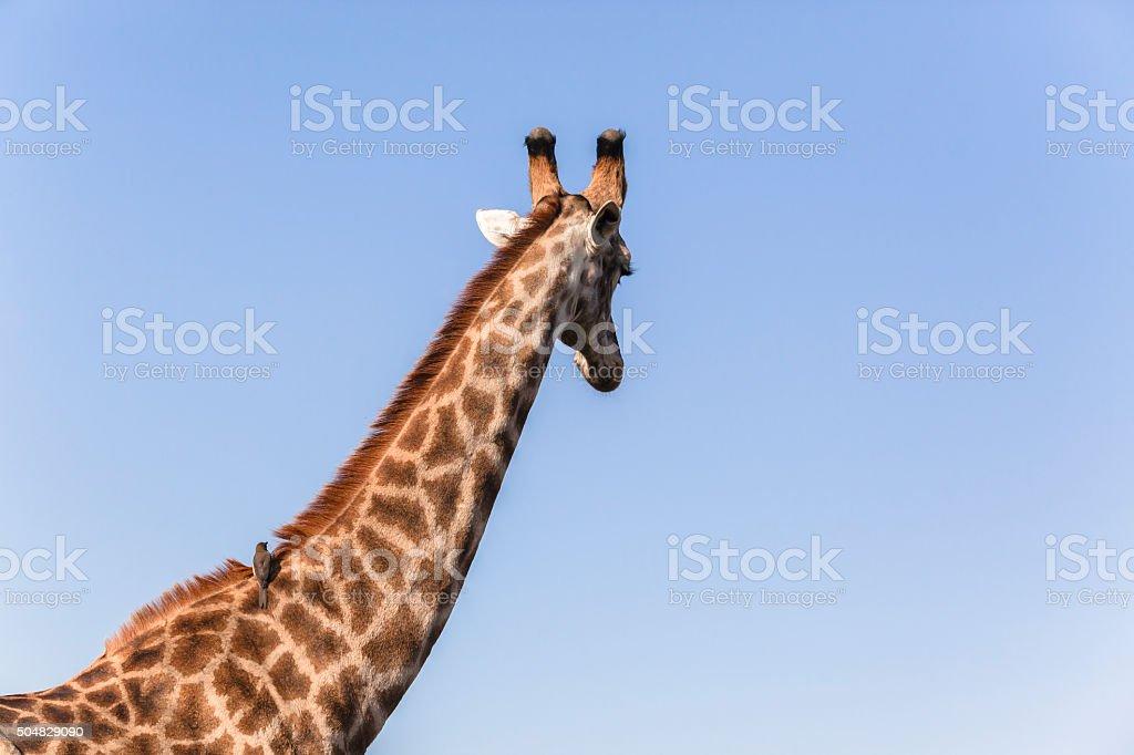 Giraffe Bird Ride stock photo