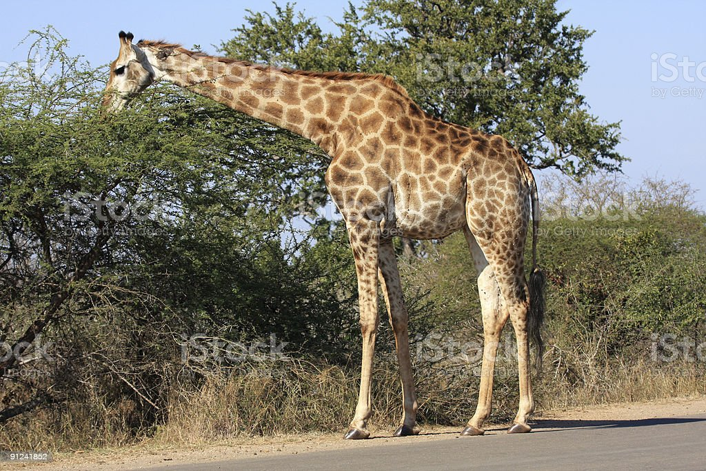 Giraffe browsing stock photo