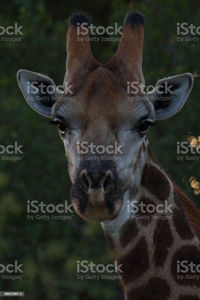 Giraffe Close Up Head Shot royalty-free stock photo