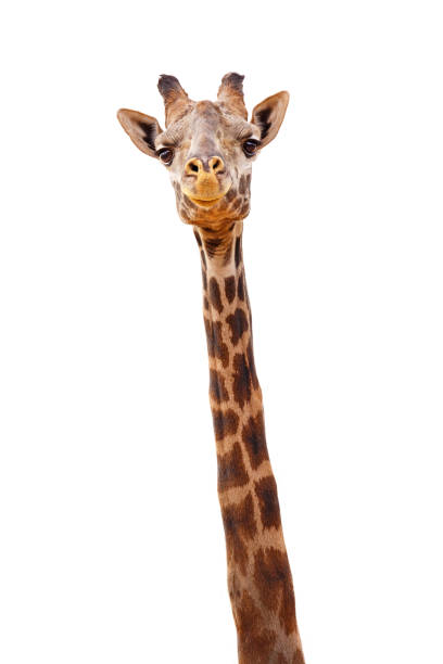 giraffe closeup isolated - happy expression - giraffe stock photos and pictures