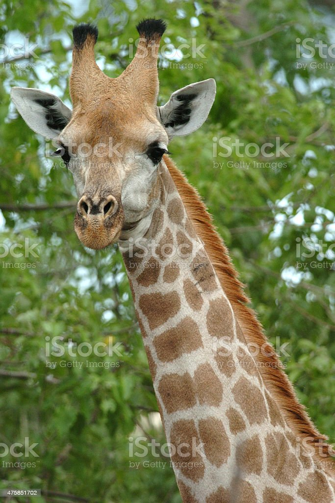 Giraffe close-up of head stock photo