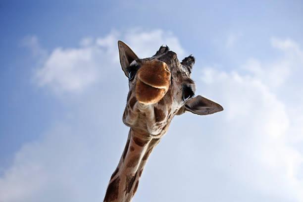 Giraffe closeup stock photo