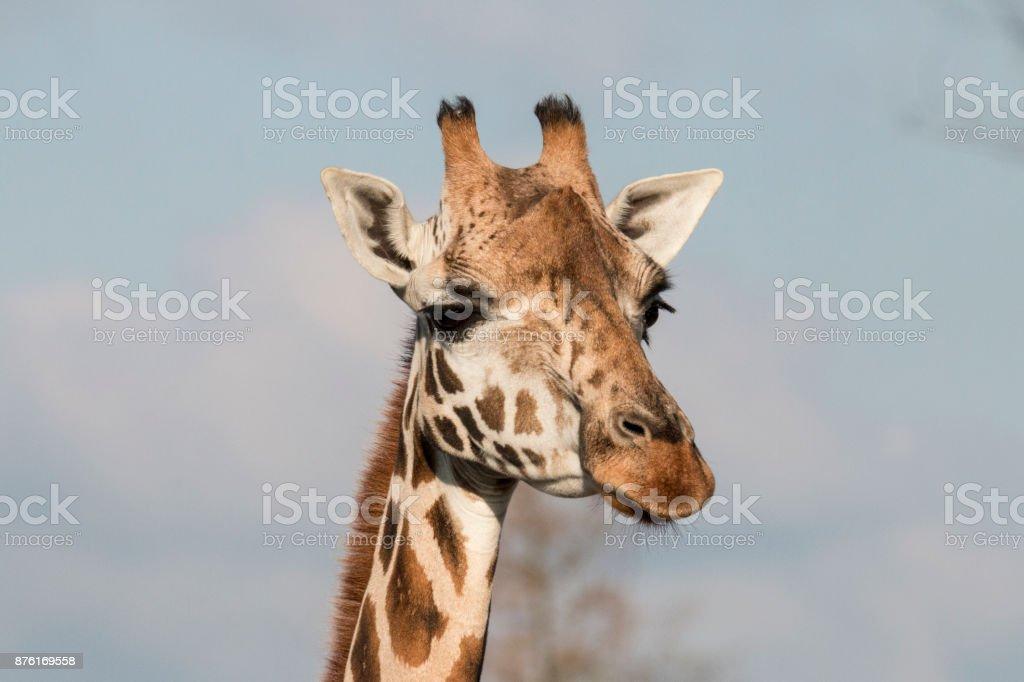 Giraffe close-up Giraffa camelopardalis, giraffe Africa Stock Photo