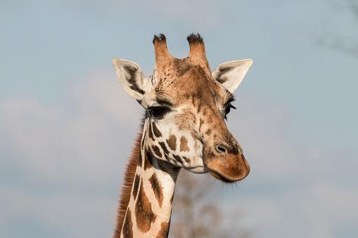 Giraffe Closeup Stock Photo - Download Image Now