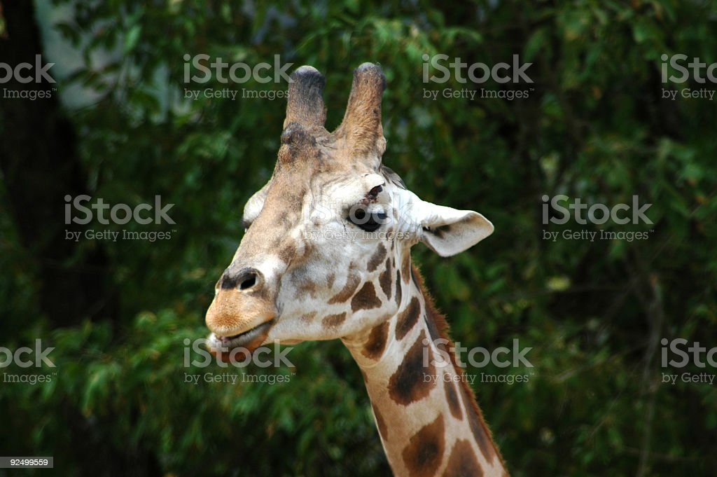 Giraffe Closeup royalty-free stock photo