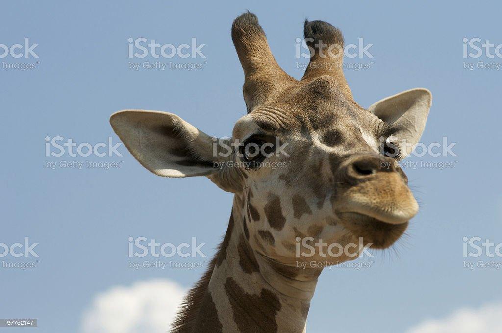 Giraffa close-up - foto stock