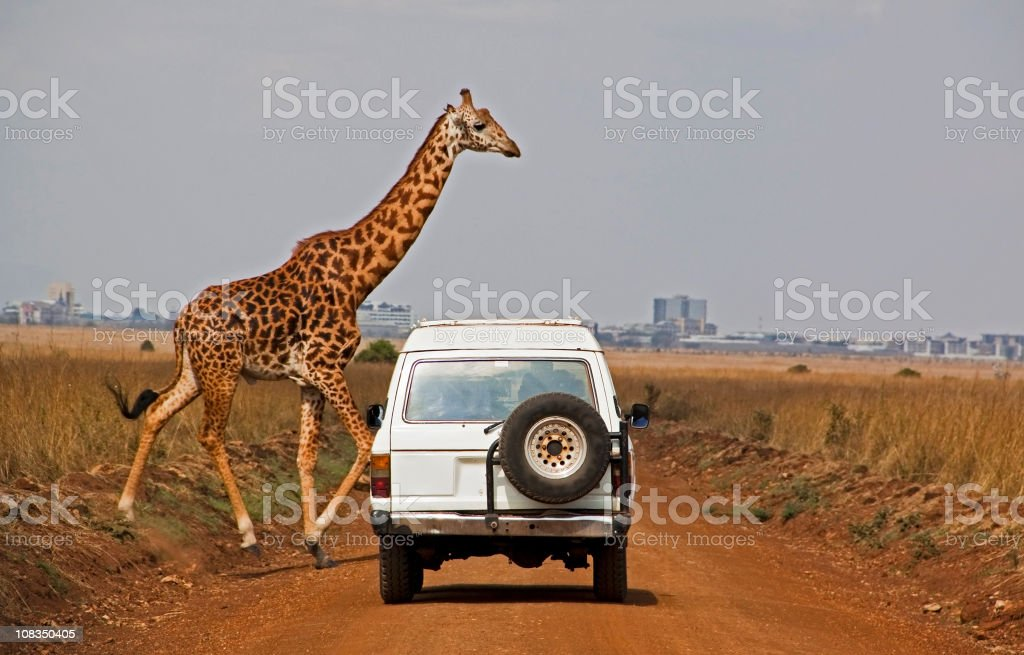 Giraffe crosses dusty road in front of white car stock photo