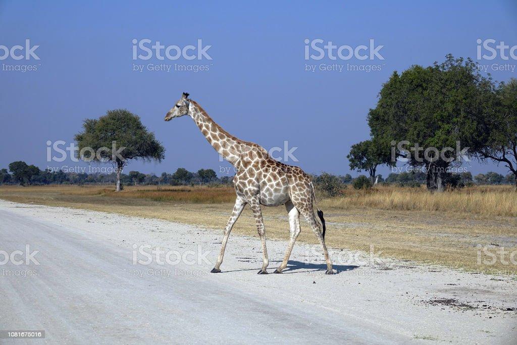 Giraffe crossing road. stock photo