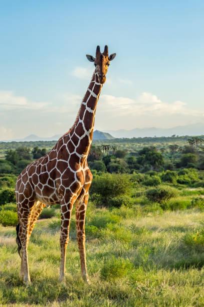 giraffe crossing the trail in samburu park - giraffe stock pictures, royalty-free photos & images