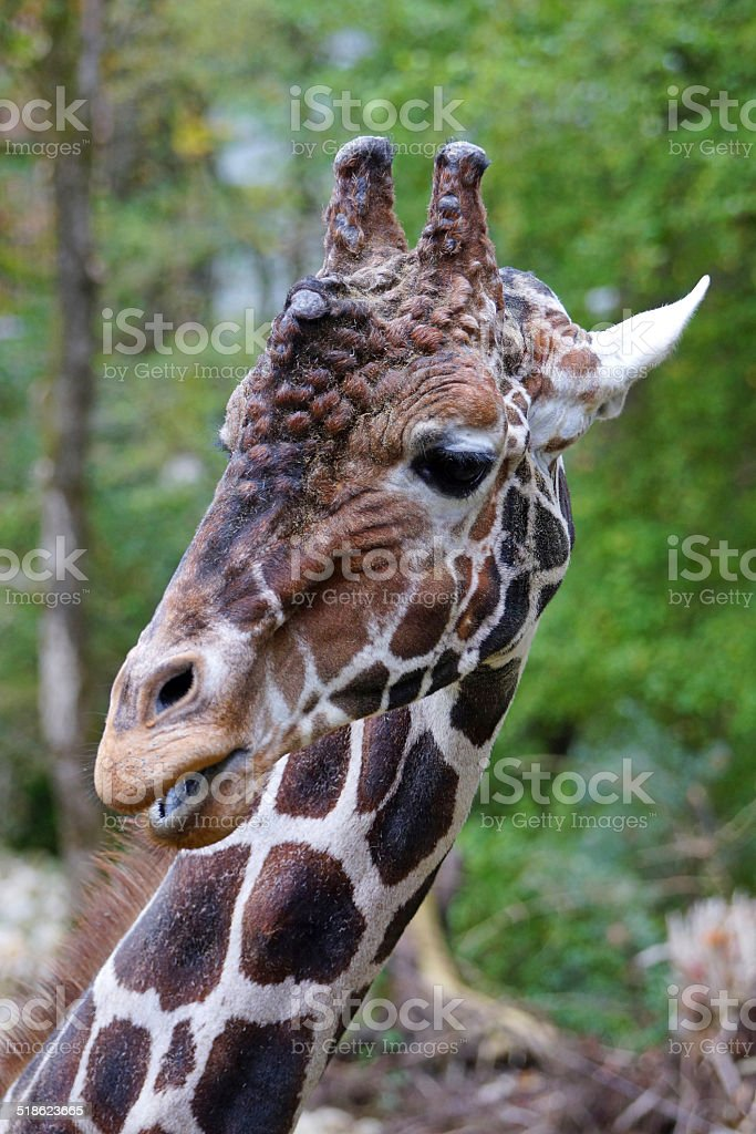 Giraffe dreht edel den Kopf stock photo