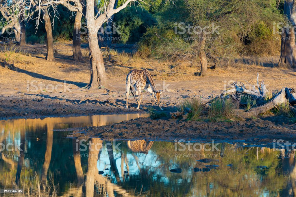 Giraffe drinking from waterhole at sunset. Wildlife Safari in the Mapungubwe National Park, South Africa. Scenic soft warm light. stock photo