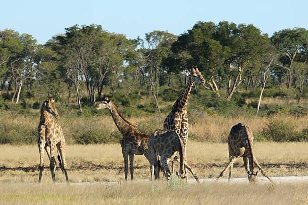 Giraffe drinking in Omuramba in Khaudum National Park stock photo