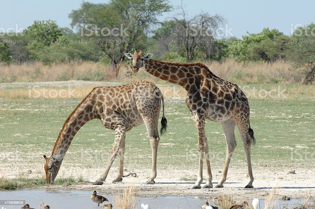 Giraffe drinking stock photo