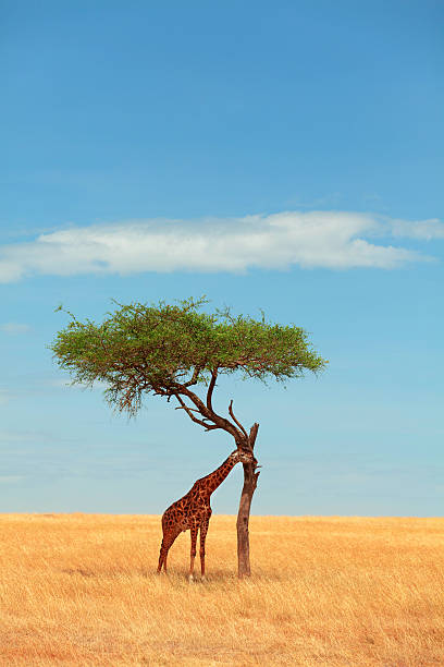 giraffe eating from an acacia tree - kenyan culture stock photos and pictures