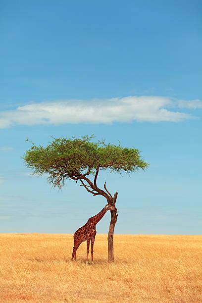 Giraffe eating from an acacia tree stock photo
