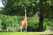 A Giraffe eating green leaves