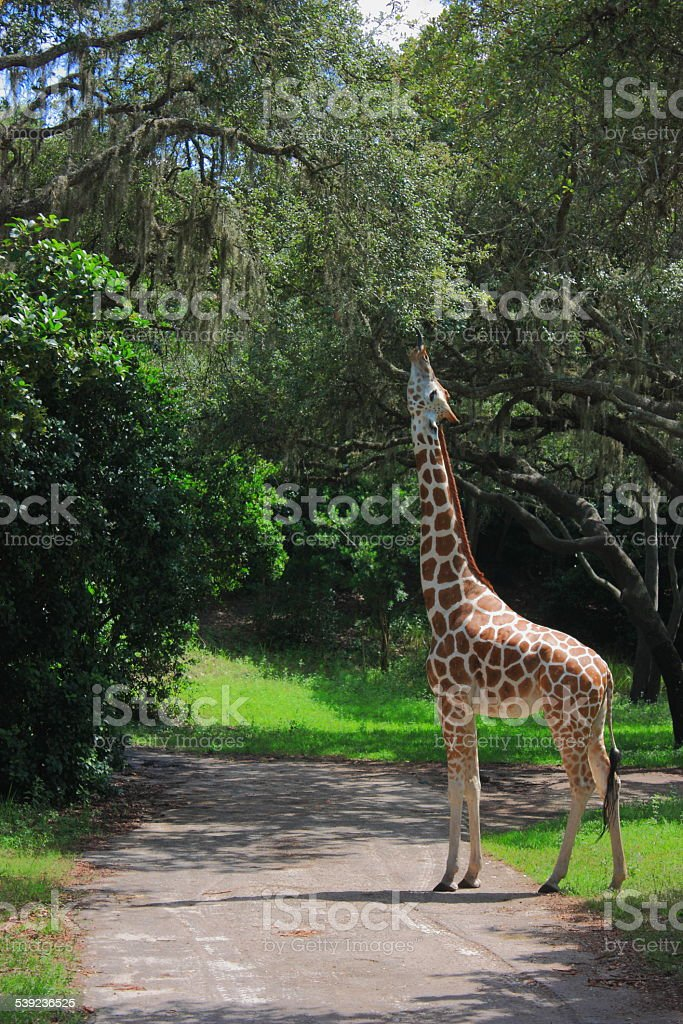 Giraffe eating leaf royalty-free stock photo