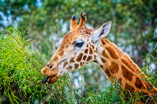 Close up of a giraffe with tongue sticking out