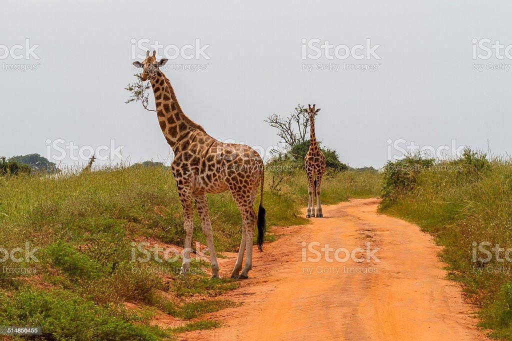 Giraffe eating stock photo