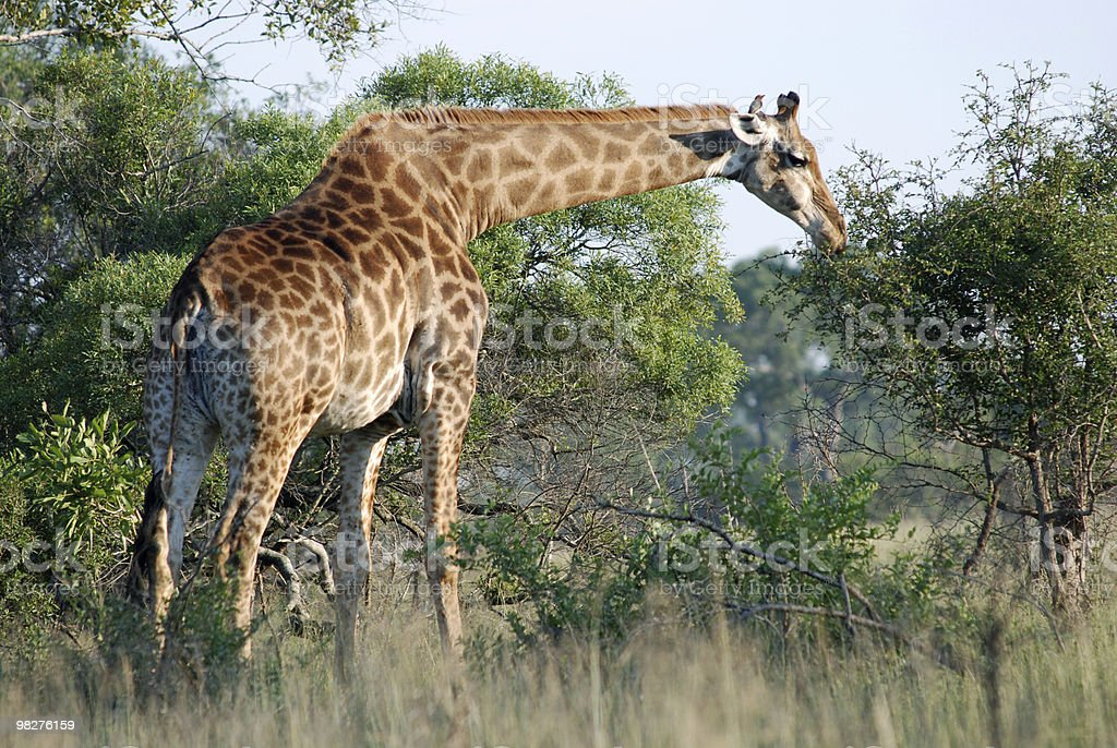 Giraffe eating some fresh bushes royalty-free stock photo