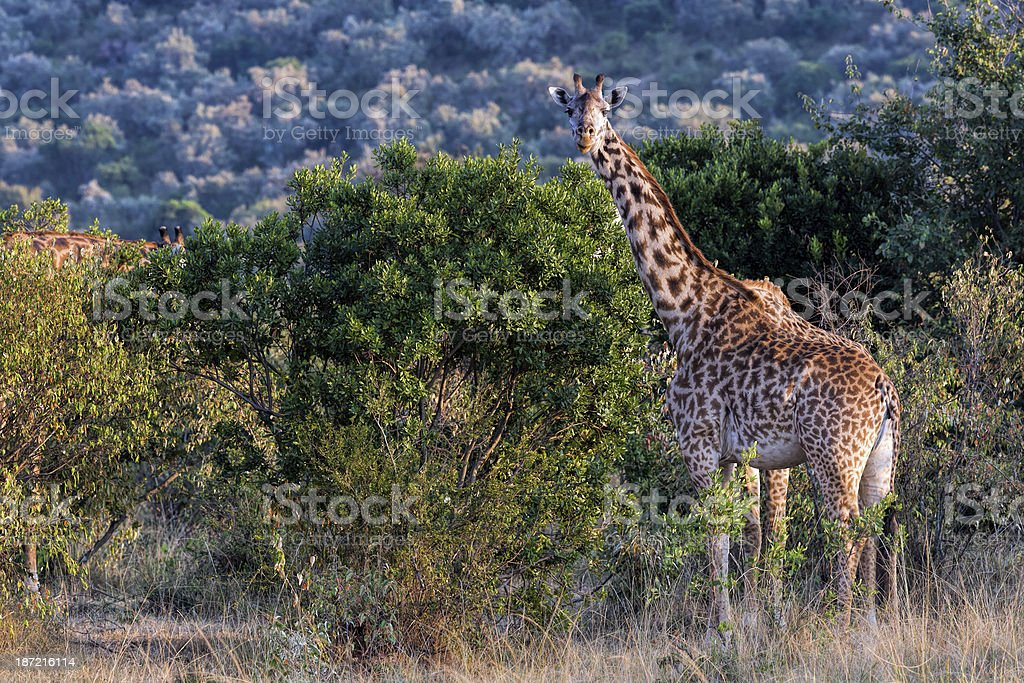 Giraffe: eating Thorn Bush in the Acacias royalty-free stock photo