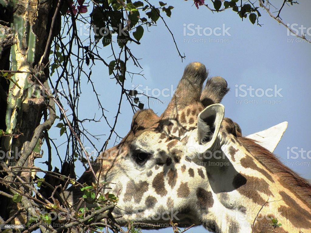 Giraffe eats acacia in Masai Mara Kenya, close up stock photo