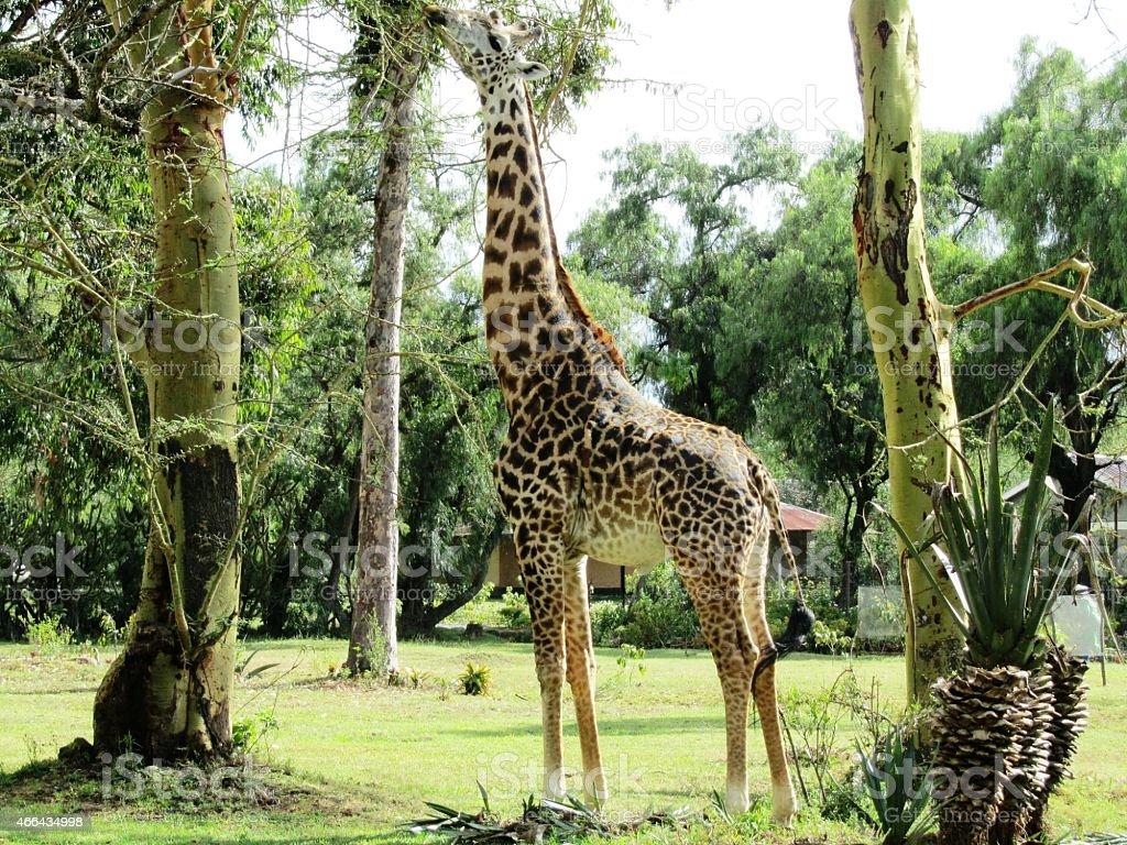 Giraffe eats acacia in Masai Mara Kenya stock photo