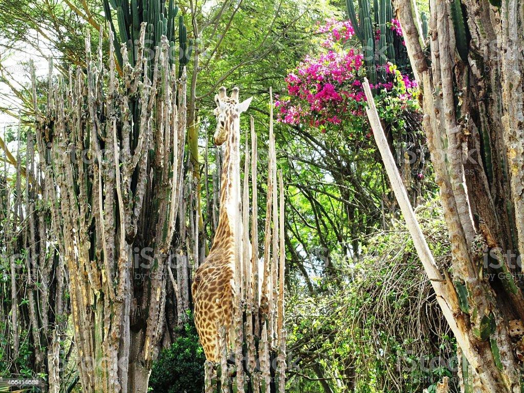 Giraffe eats cactus in Masai Mara Kenya stock photo