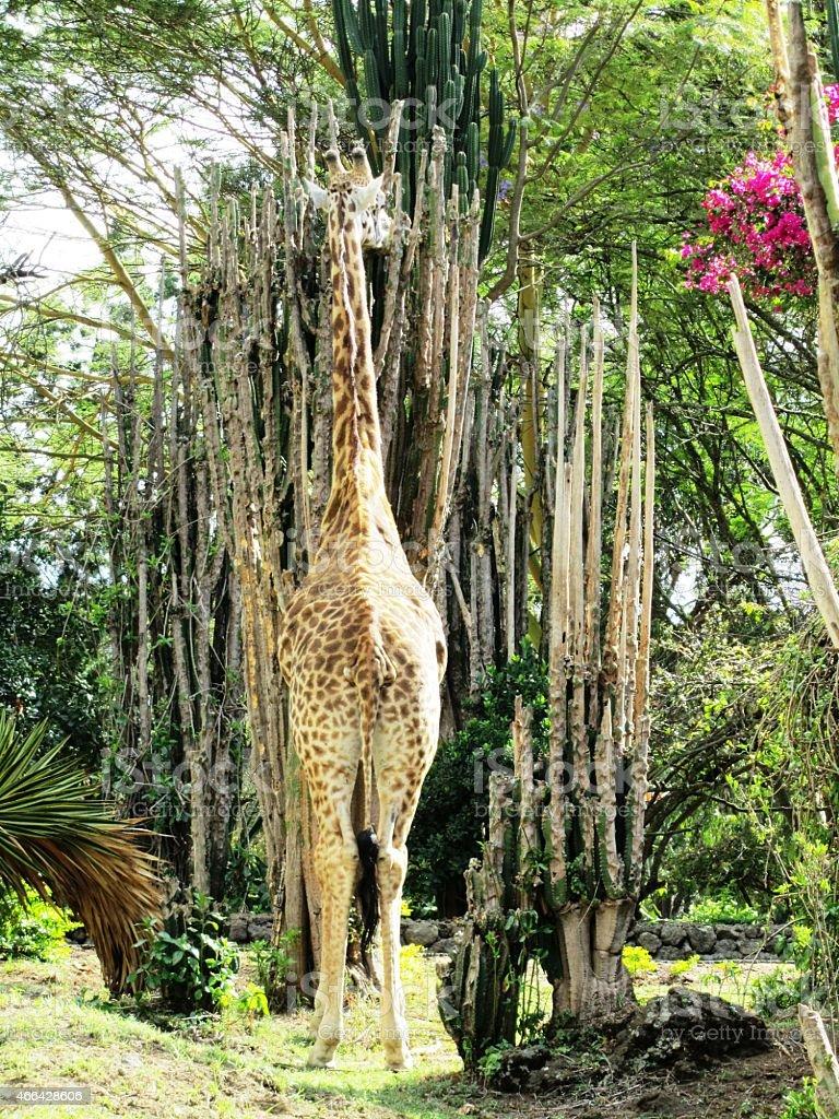 Giraffe eats cactus - Masai Mara in Kenya stock photo