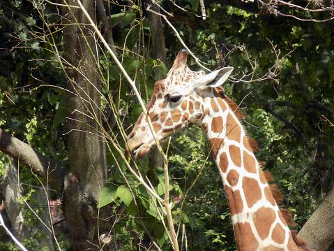 Foto de Girafa Come Folhas Da Árvore e mais fotos de stock de Alto - Descrição Geral