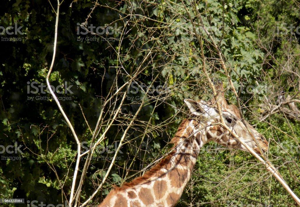 Girafa come folhas da árvore - Foto de stock de Alto - Descrição Geral royalty-free