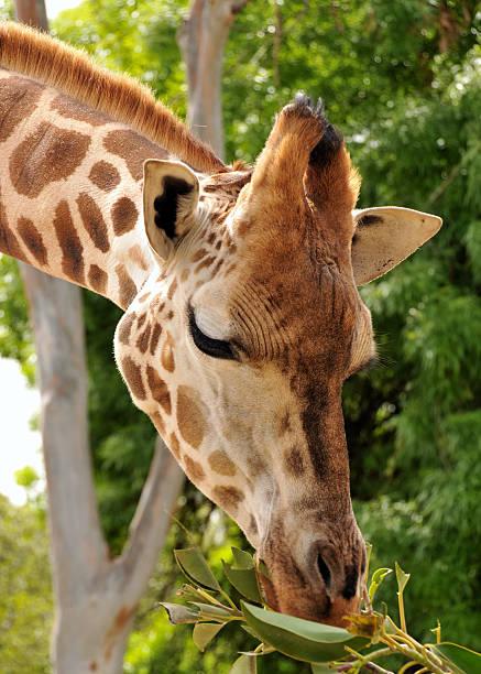 Giraffe eats some green leaves stock photo
