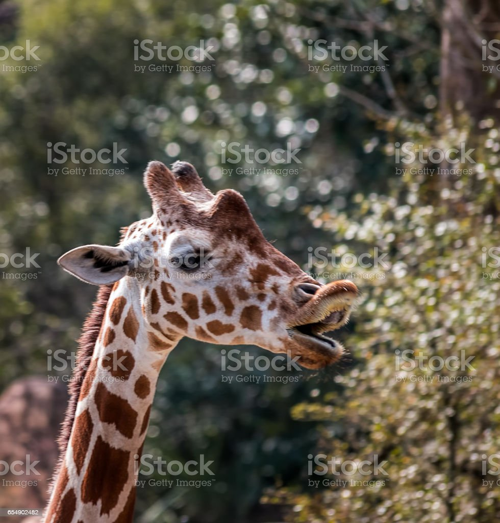 Giraffe enunciates on Bokeh backdrop Head and Neck of Giraffe as he enunciates speech with nature and bokeh in the background, details eyes and chin whiskers Animal Stock Photo