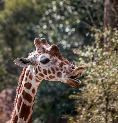 Giraffe Enunciates On Bokeh Backdrop Stock Photo - Download Image Now