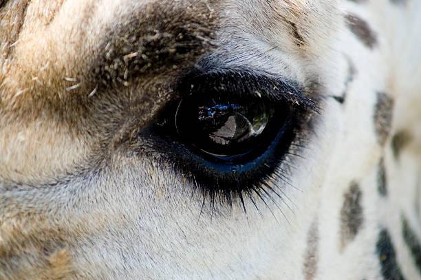 Giraffe - Eye stock photo