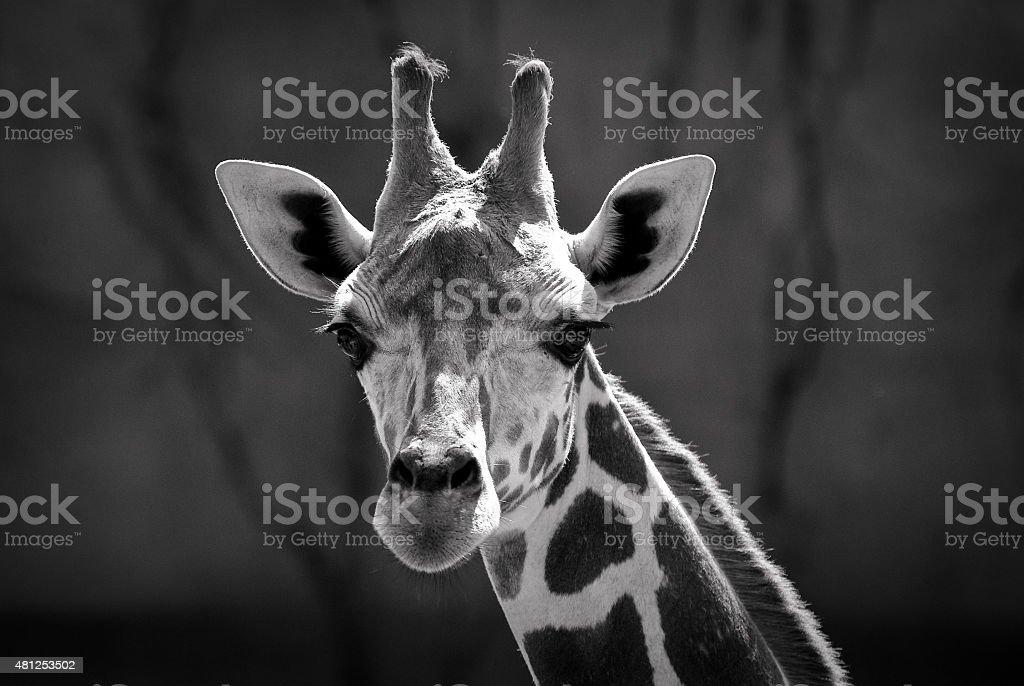 Giraffe face black and white photo stock photo
