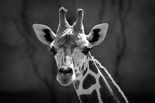 Giraffe face black and white photo stock photo