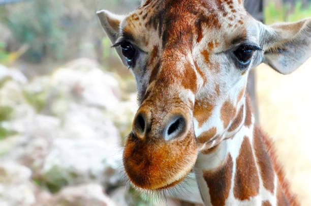 Giraffe face stock photo