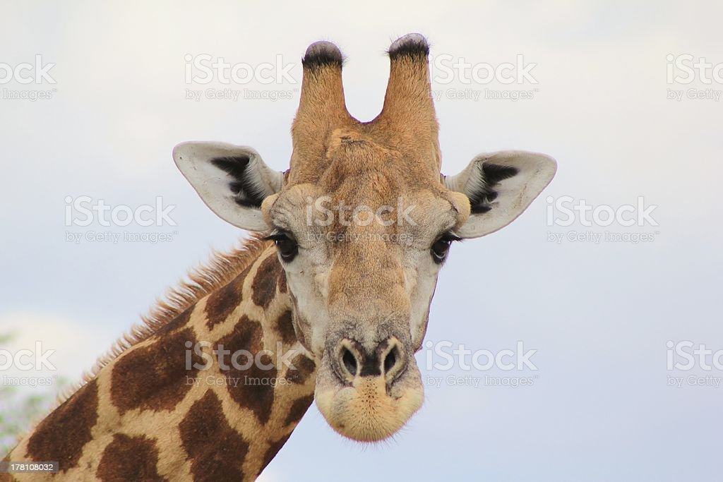 Giraffe - Facial Markings of a bull in the wild royalty-free stock photo