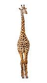 Masai Giraffe safari animal facng forward. Isolated on white background