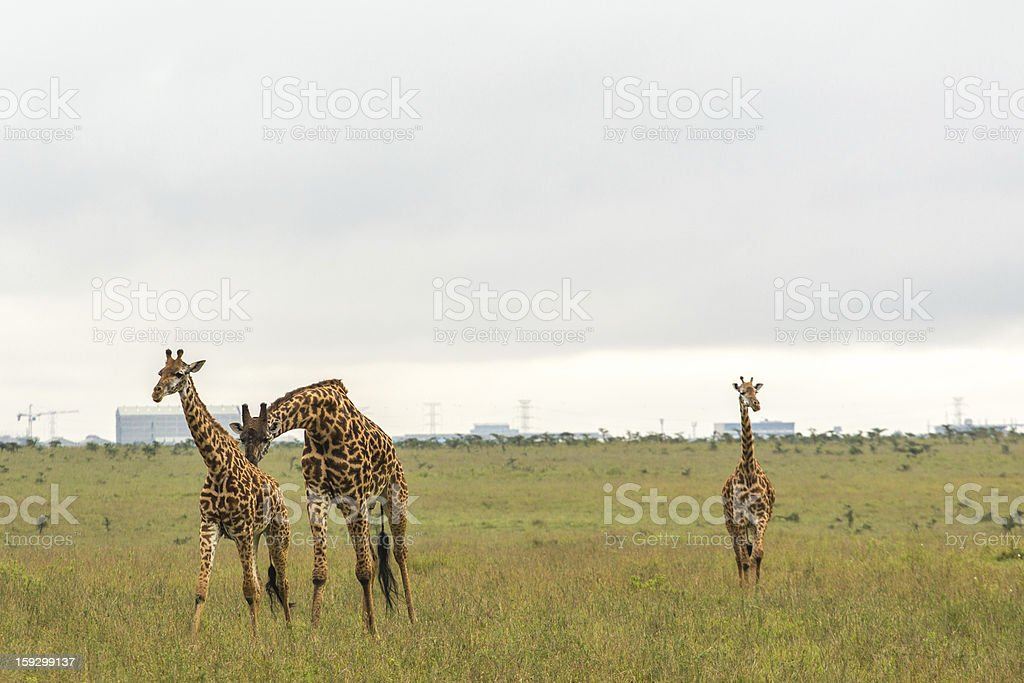 Giraffe family in the wild royalty-free stock photo