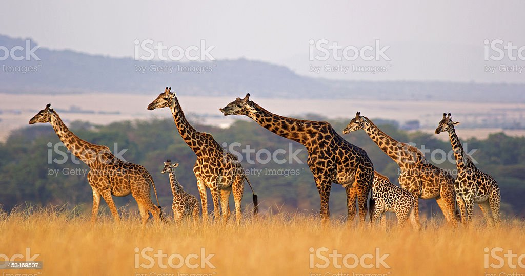 Giraffe family - 免版稅一群動物圖庫照片