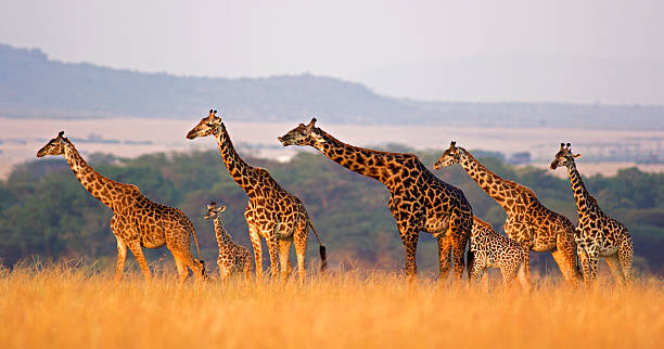 giraffe family - safari stock photos and pictures