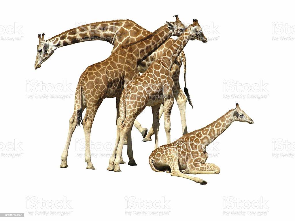 Giraffe Family/Team royalty-free stock photo