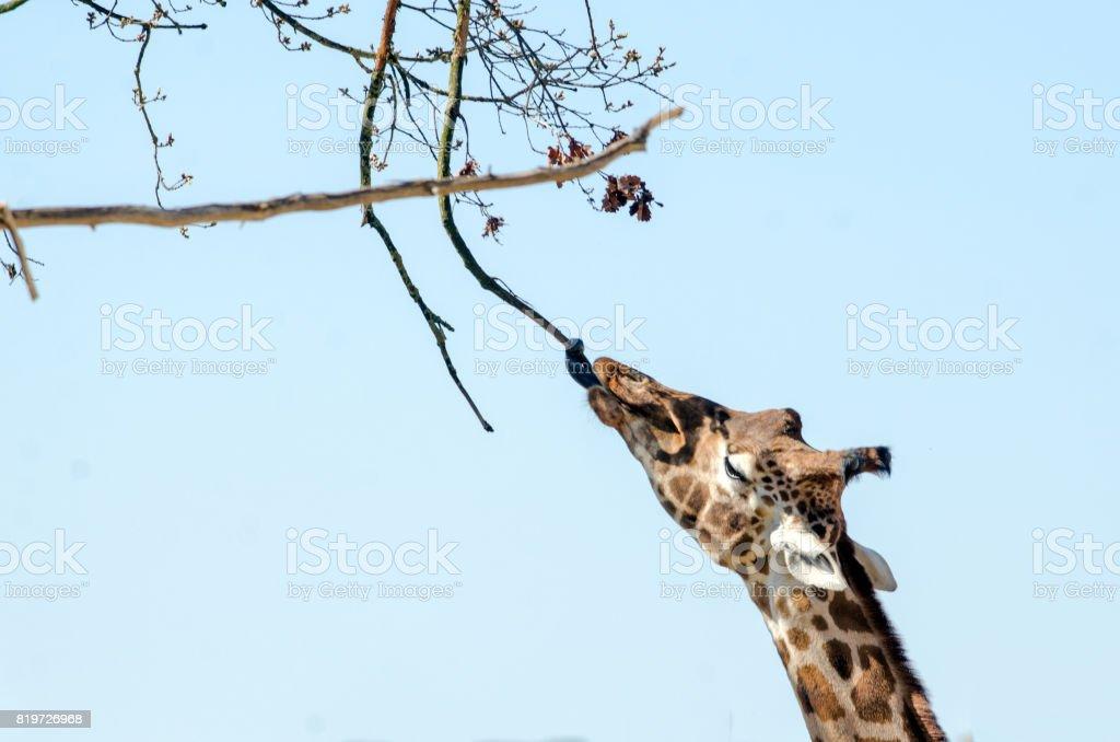 Giraffe Feeds royalty-free stock photo