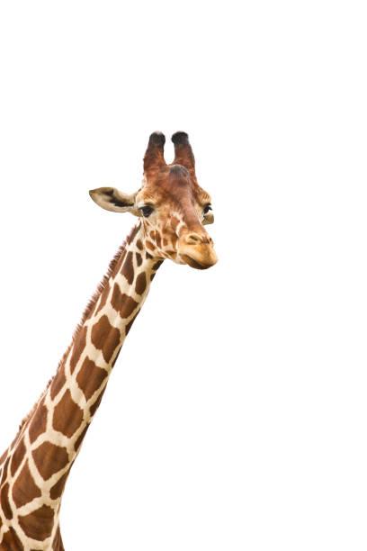 giraffe. giraffenhals - gedehnte ohren stock-fotos und bilder