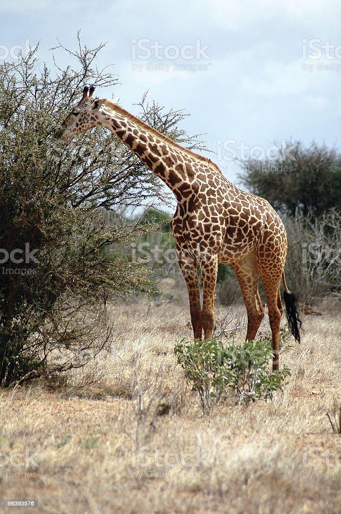기린과 갖는 케냐 중식 royalty-free 스톡 사진
