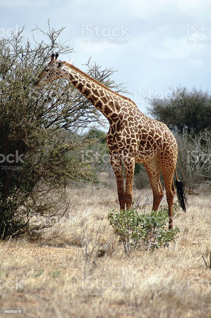 Giraffe having Kenyan lunch royalty-free stock photo
