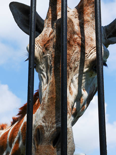 giraffe head behind bars - deplorable stock pictures, royalty-free photos & images